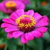 Забарвлення квіток