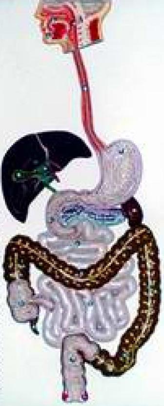 Демонстрація муляжів органів