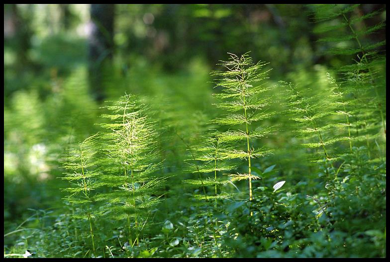 До теми вищі спорові рослини 7 кл