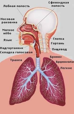 Розробки уроків до теми дихання