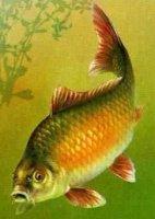 """Розробки уроків до теми """"Хордові тварини. Безчерепні. Риби"""" для 8 кл. ."""