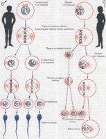 """Розробки уроків до теми """"Розмноження та розвиток людини"""" для 9 кл."""