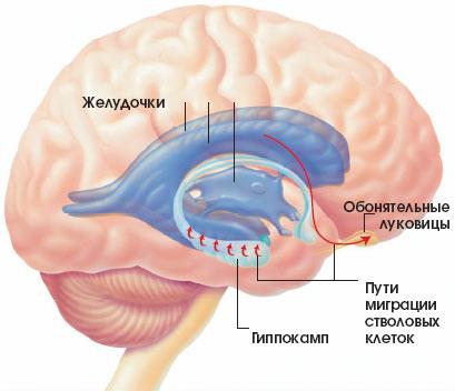 довгастий мозок;