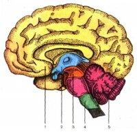 """Розробки уроків до теми """"Нервова регуляція функцій організму людини"""" для 9 класу"""