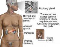 Розробки уроків до теми «Ендокринна регуляція функцій організму людини» для 9 кл.