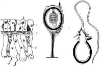 Матеріали до уроків біології тварин (8 кл.) «Характерні особливості представників типу Кишковопорожнинні».