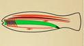 Матеріали до уроків з біології тварин для 8 кл. про особливі ознаки типу Хордові