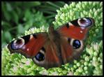 Мудрість метелика «павичевого ока»