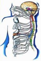 Порівняльна характеристика симпатичного та парасимпатичного відділів автономної нервової системи людини (у рамках шкільної програми)