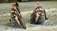 Таємниці феромонів комах