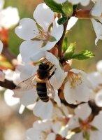 Чому без бджіл стануть мертвими всі континенти?
