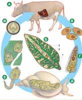 Комплекс пристосувань до паразитизму у черв'яків (у рамках шкільної програми)