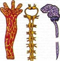 Типи нервових систем у тварин.