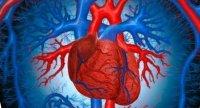 Морфологічні типи будови серця у тварин