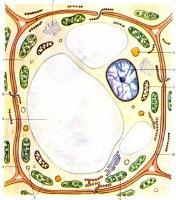 Що необхідно знати учням про вакуолі у рослинних клітинах.