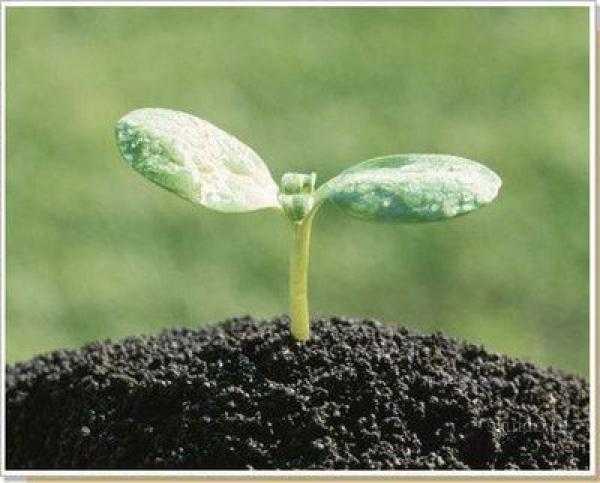 Чим відрізняються перші ростки рослин