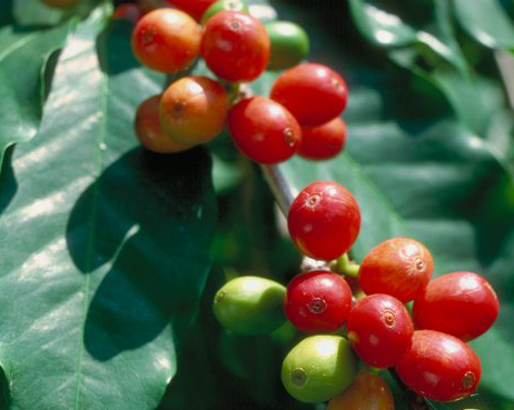 Історичний шлях кавових зерен до