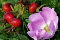 Провісниця щастя – неперевершена квітка троянда.