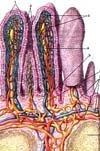 Процес всмоктування речовин у різних відділах травного каналу.