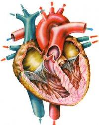 Серце людини – насос! Чому?