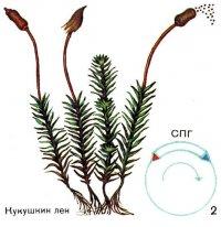 Як здійснюється чергування поколінь у життєвому циклі рослин.