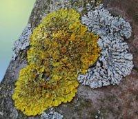 Чи можна однозначно сказати, що лишайники – це гриби?