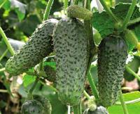 Чи все ми знаємо про огірки?
