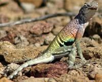 Зміна пойкілотермними тваринами температури свого тіла.