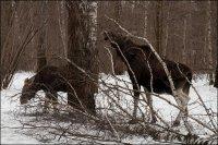 Красень лісу – лось - сучасник вимерлих мамонтів.
