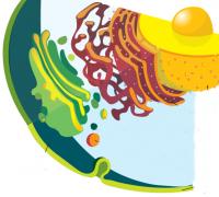 """Розробки уроків до теми """"Клітина як цілісна система"""" (10 кл.)"""