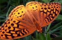 Таємниці лусочок на крилах метеликів.