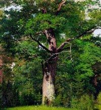 Шануй дерево!