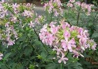 Мильні рослини - альтернатива милу