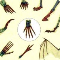 Шляхи утворення п'ятипалих кінцівок