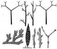 Еволюція галуження стебла та походження листків
