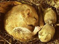 Чи дійсно сезонна сплячка у тварин є сном?