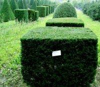 Зелене диво планети -  тис ягідний
