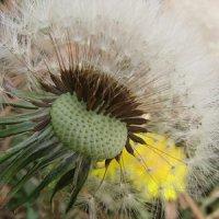 Апоміксис у рослин -  розмноження без запліднення