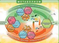 Анаболізм + катаболізм = метаболізм