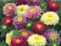 Айстри – квітки-зірки