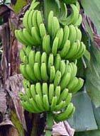 Чи ростуть банани на пальмах?