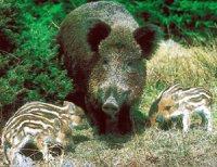 Материнський інстинкт дикої свині