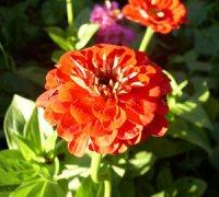 Цинія - квіти зі званням «майор»