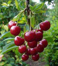 Символічне вишневе дерево