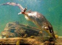 Хохуля  – реліктова тварина - сучасник мамонта