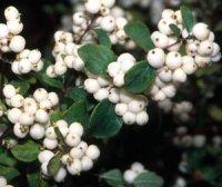 Витончені і чарівні сніжні ягоди
