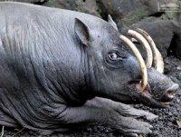 Тварина, що «соромиться» свого вигляду