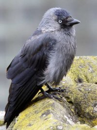 Птах, що любить все блискуче