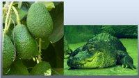 Авокадо – «алігаторова груша» та «дерево-корова»?
