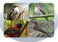 Кожна мухоловка – птах-загадка